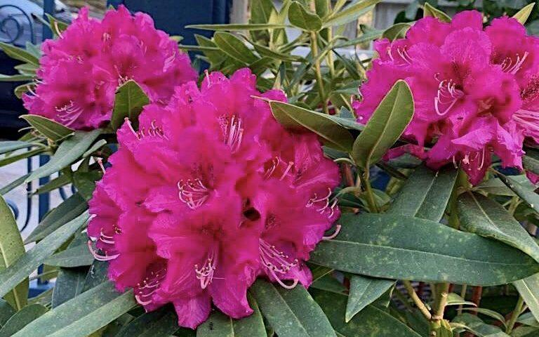 Rododendro en la terraza de Simoneta and Co