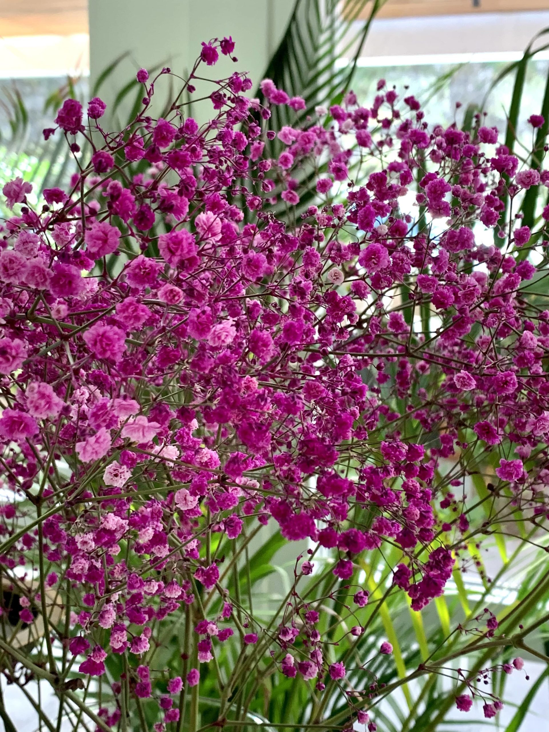 Paniculata rosa en Simoneta and Co